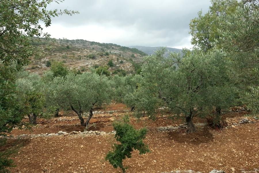 Olive Orchards Khraybet el Shouf