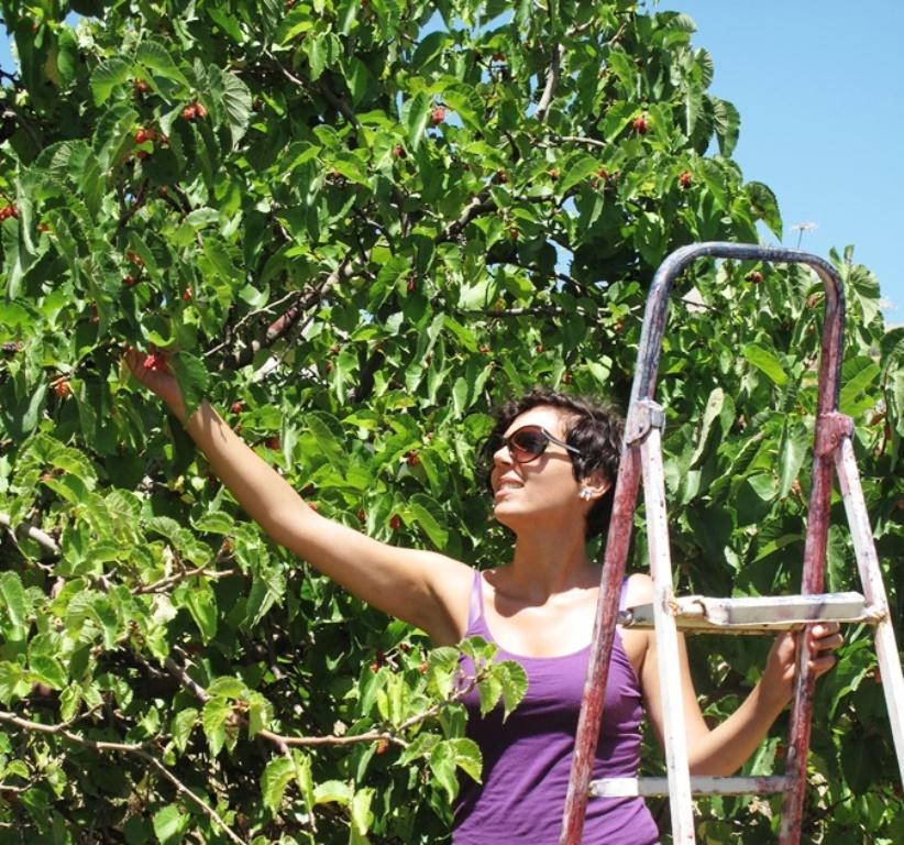 Mulberry harvest