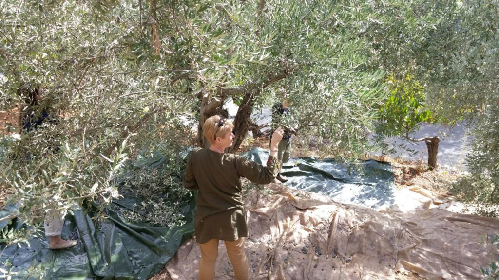 Tourists participating in olive harvesting activities with a local farmer - darb el karam in West Bekaa