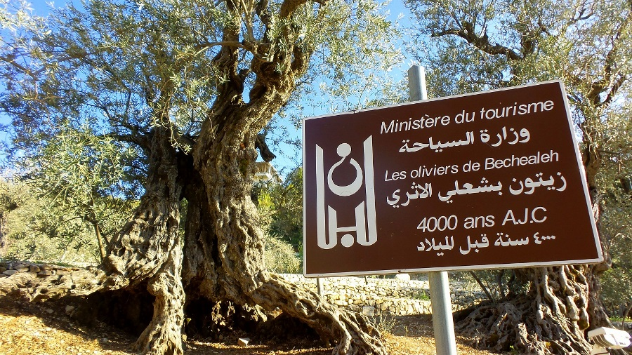 The mighty olive trees of Bchaaleh