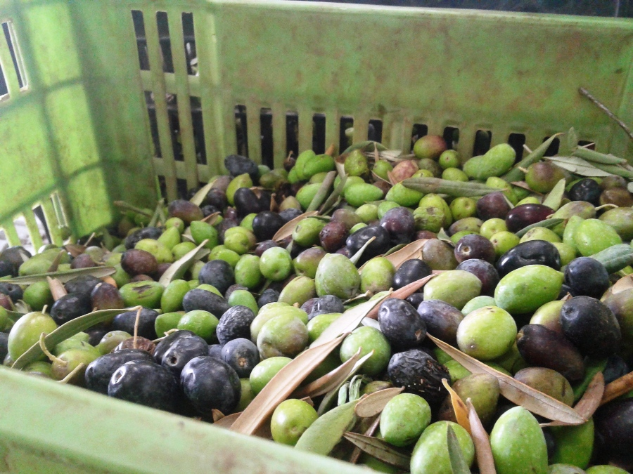 Green and black olives to be squeezed